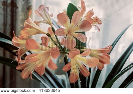 Indoor Flower-amaryllis With Bright Pink Flowers Surrounded By Green Leaves On A Light Background. F
