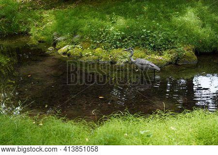 Japanese Egret  Walking In Clear Waterway  In Garden ,japan.