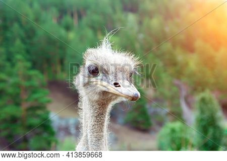 Close-up On The Head Of A Large Wild Ostrich Bird With Large Eyes, A Sharp Beak And Looks Like A Ter