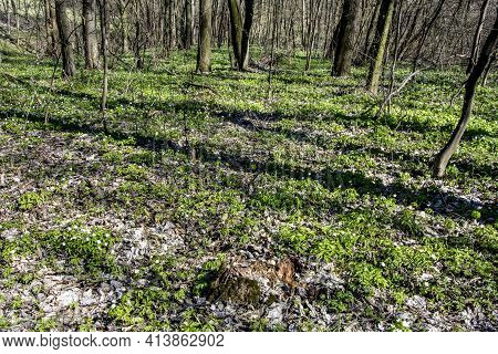 Spring Forest Covered With Anemones Flowers. Nature Background.