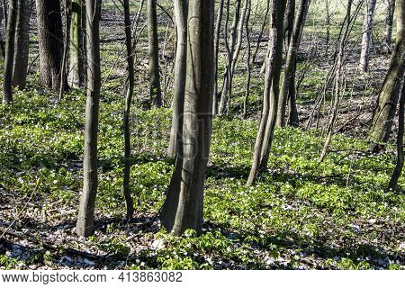 Beautiful White Flowers Of Anemones In Spring In A Forest Close-up In Sunlight In Nature. Spring For
