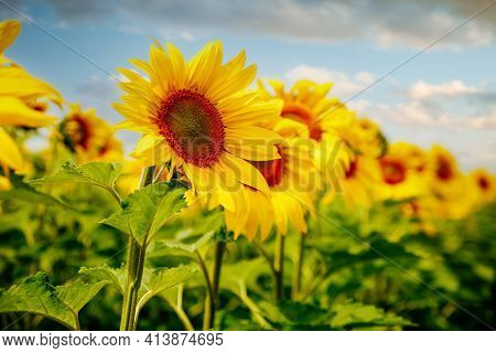 Attractive scene of vivid yellow sunflowers in the sunny day. Location place Ukraine, Europe. Ecology concept. Agrarian industry. Perfect photo wallpaper. Image of cultivation land. Beauty of earth.