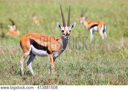 Thomson's Gazelles (eudorcas Thomsonii) In An African Savanna