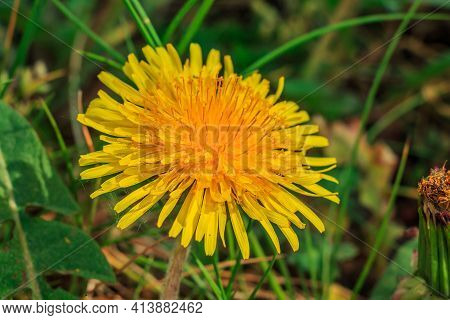 Meadow Flower In Spring In Sunshine. Open Yellow Flowers Of The Common Dandelion In Detail. Petals W