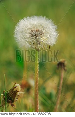 Dandelion In Spring On A Meadow. Flower In Detail With Seeds On The Stem. Closed Bloom From Dandelio