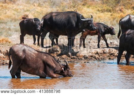 Herd Of The African Buffaloes (syncerus Caffer) Or Cape Buffaloes Drinking The Water In A Dirty Lake