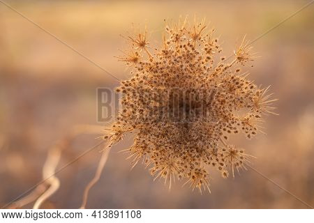 Close Up Of Strange Flowering Plant On Blurred Background On A Sunny Autumn Afternoon At Sunset