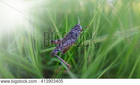 Grass Hopper Crawling Up The Green Grass. Bush-cricket Macro Shot. Summer Morning Meadow Eastern Loc