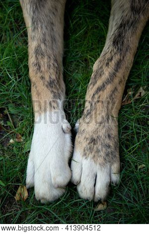 The Paws Of A Large And Large Breed Dog Lie On The Juicy Green Grass. The Dog Lies With Its Paws Str