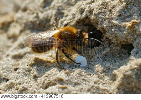 Closeup Of The Male Vernal Colletes Or Spring Mining Bee, Colletes Cunicularius At The Entrance Of A