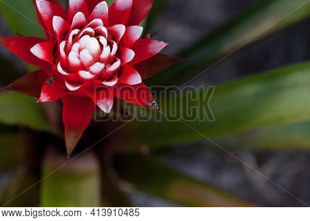 Red And White Bromeliad Flower With A Convergent Lady Beetle