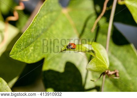 Spotted Convergent Lady Beetle Also Called The Ladybug Hippodamia Convergens