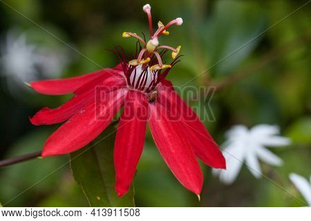 Bright Red Scarlet Passion Flower Flower With A Convergent Lady Beetle Also Called The Ladybug Hippo