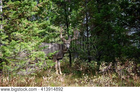 Trophy Mule Deer Buck, 8 Point In Velvet. Wild Majestic Deer In Natural Outdoor Setting. Large 8 Poi