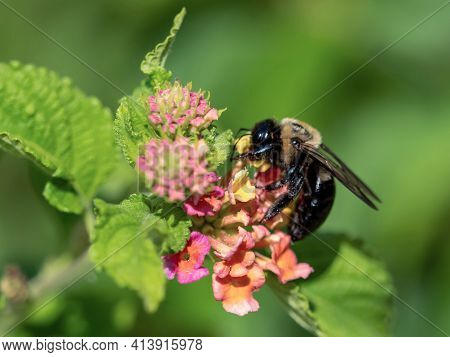 Bumblebee Pollinating An Orange And Pink Flower Bloom With Green Leaves Blurred In The Background In