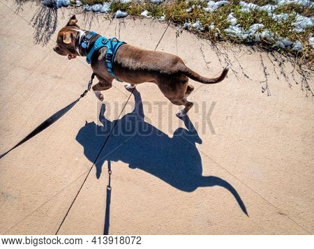 pit bull terrier dog in no pull harness walking or runing on a bike trail - top view with a strong shadow