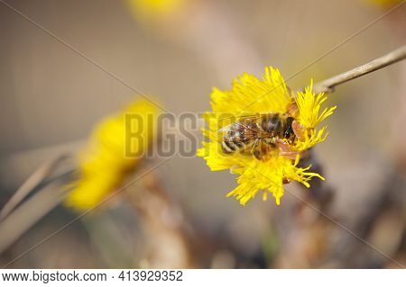 Medicinal Plant Mother And Stepmother, Tussilago. Yellow Flower With A Bee, Collects Nectar. Bee On