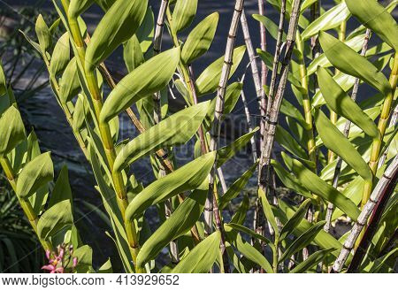Close Up Of Large Green Leaves Of Dendrobiu Orchid