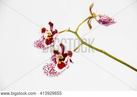 Close Up Of Tiny Oncidium Orchid Flowers