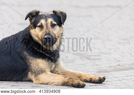 Homeless Stray Dog. The Problem Of Stray Dogs And Pets.