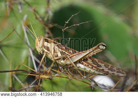 Migratory Grasshopper, Locusta Migratoria, Satara, Maharashtra, India