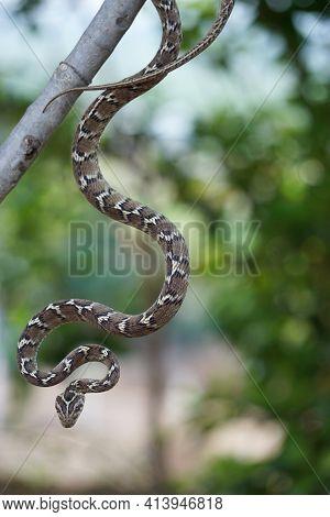 Common Cat Snake Hanging From A Tree, Boiga Trigonata, Satara, Maharashtra, India