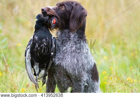 Hunting Dog (german Wirehaired Pointer) Sits In The Grass And Holds A Downed Black Grouse In Its Tee