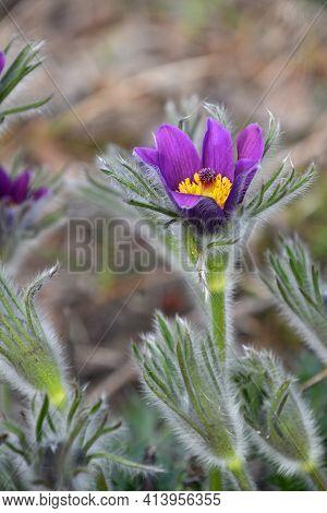 Close Up Early Bloomer Purple Pulsatilla Flower Head (windflower, Mayflower, Pasqueflower) In Green