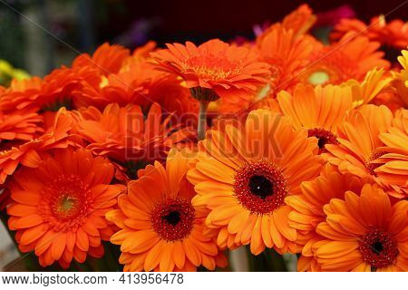 Close Up Bouquettes Of Fresh Orange Color Gerber Daisy Flowers With On Retail Display, High Angle Vi