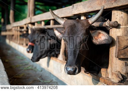 Beef Cow, Wagyu - Japanese Shorthorn, Portrait Of A Wagyu Cow Of Japanese Origin In Farm Thailand