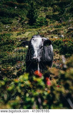 Real Alpine Cow In Alpine Conditions. Expression Of A Happy Animal. Organic Dairy Farm In Austria. T