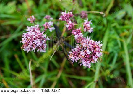 Close Up Of Oregano Or Origanum Vulgare Or Wild Marjoram
