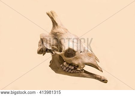 The Skull And Lower Jaw Of A Giraffe (latin: Giraffa Camelopardalis L.) Are Isolated On A White Back