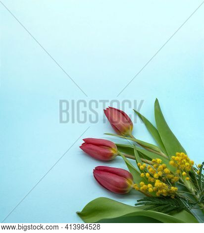Blue Banner With A Tulip. Tulips And Mimosa On A Blue Background.
