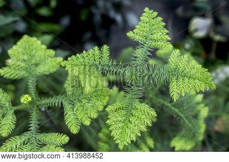 Araucaria Biramulata Are Evergreen Coniferous Tree. Macro View Of Delicate Branches On A Norfolk Pin