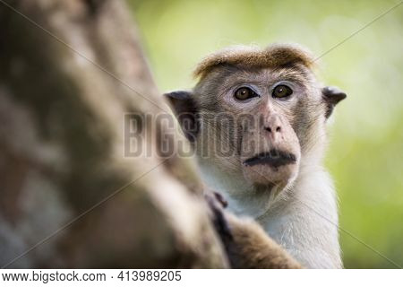 An Adult Wild Brown Monkey With Expressive Eyes And Lips, Close-up Sitting Holding A Tree And Lookin