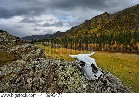 Russia. The South Of Western Siberia, The Altai Mountains. The Skull Of A Cow On The Coastal Rocks O