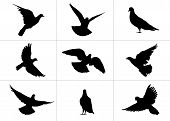 9 realistic silhouettes of pigeons: flying and standing still from different viewpoints poster