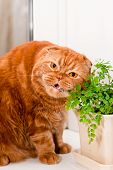 A scottish fold cat sitting on a windowsill and eating of houseplants poster