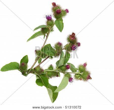 Great Burdock Flower