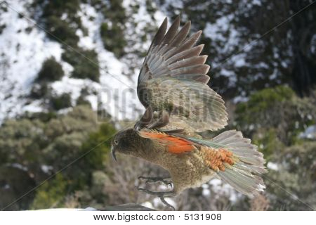 Kea Bird Flying In The Air