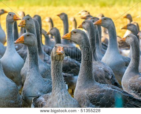 Perigord Geese