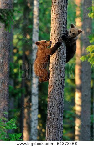 Brown Bear Cubs On A Tree