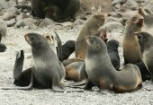 Harem northern fur seal on the beach (Callorhinus ursinus) poster