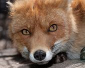 Red fox in a zoo. Close up. poster