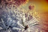Frozen pinyon's needles at the colored snowy background. poster