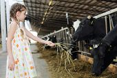 Cute little girl in dress gives hay for cow in long stall. Focus on girl. poster