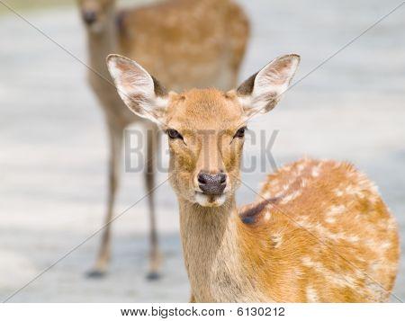 Deer In Nara Park, Japan