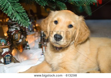 A Golden Retriever puppy lies under a Christmas tree. poster