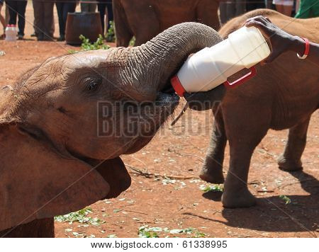 A baby elephant feeds itself at an Afican rescue center